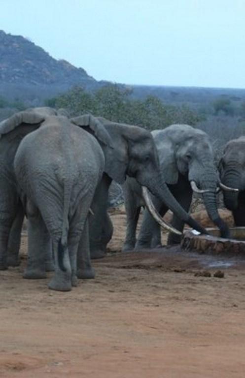 elephant3-259x400 (Cópia)