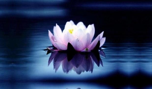 lotus (Copiar)