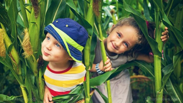Children-Play-Corn-Fields (Copiar)