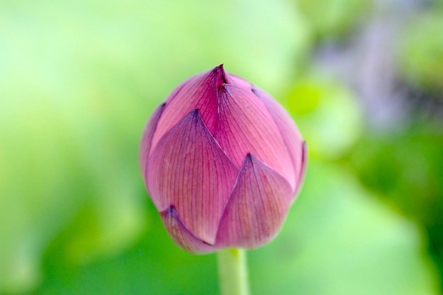 Lotus-Bud.v1.jpg