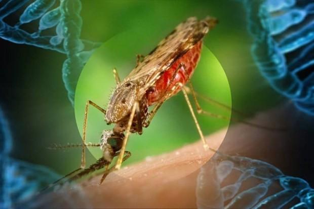 mosquito_gene-min-1024x441