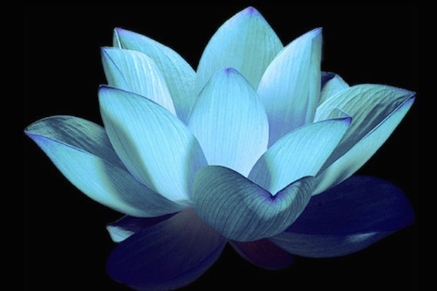 Lite-Blue-Night-Lotus-1