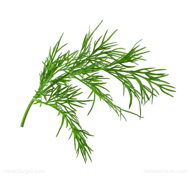 Dill-Isolated-Sprig-White-Aromatic-Background-Branch